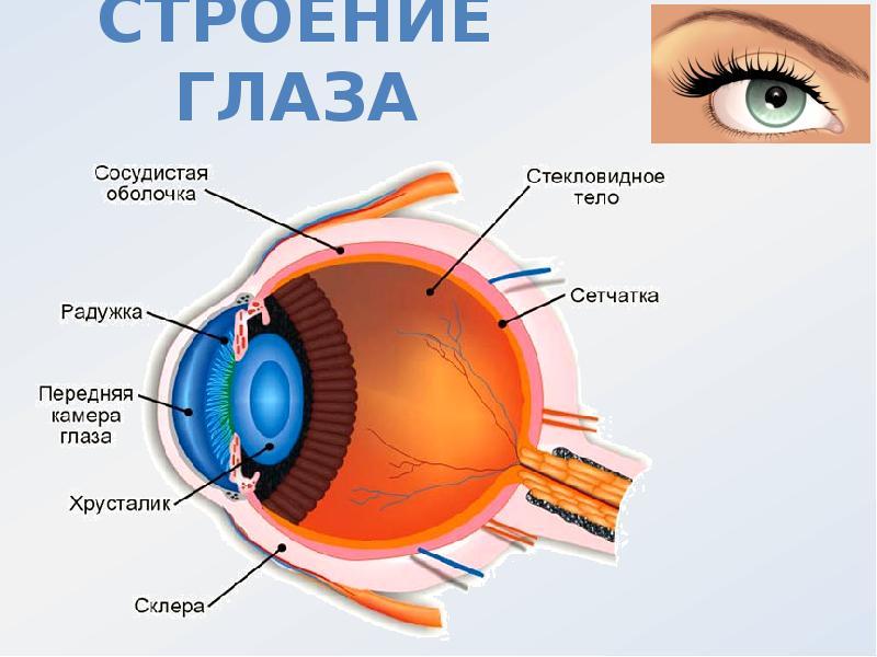 глаз строение глаза человека картинки для женщины оправдывают