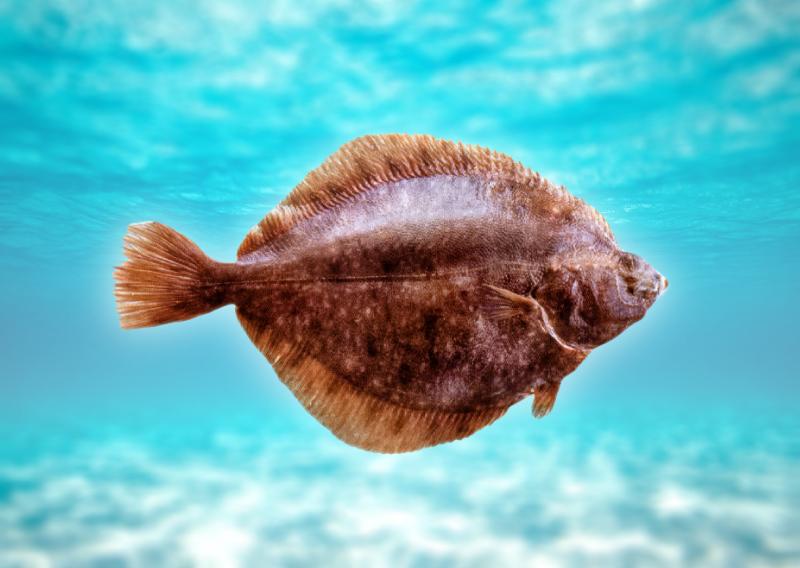 нашем каталоге картинка рыбы камбалы название гора очаровательная